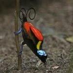 10722 paradijsvogel2 150x150 - Paradijsvogels