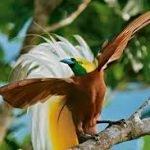 8d81c paradijsvogel3 150x150 - Paradijsvogels