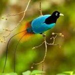 bd0e6 paradijsvogel1 150x150 - Paradijsvogels